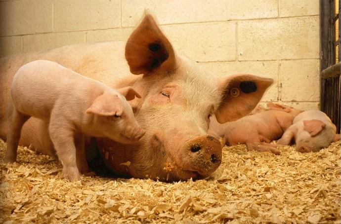 raising-the-pigs